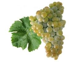 Variedade de uva – Sauvignon Blanc