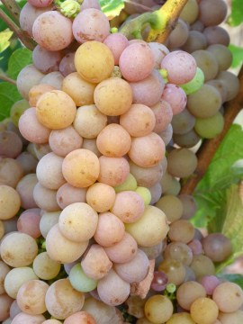 Pinot Gris – uma variedade de uva muito versátil