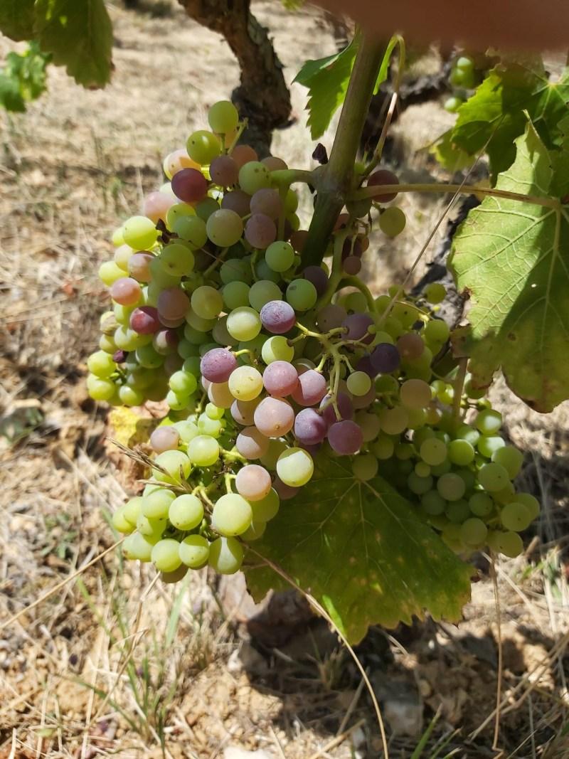Giró – uma variedade de uva autóctona espanhola