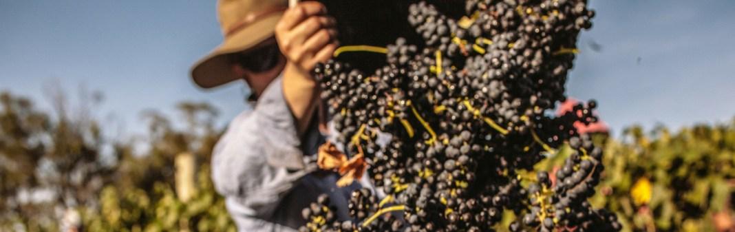 shiraz harvest
