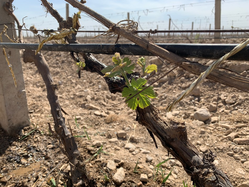 Vines in Ningxia