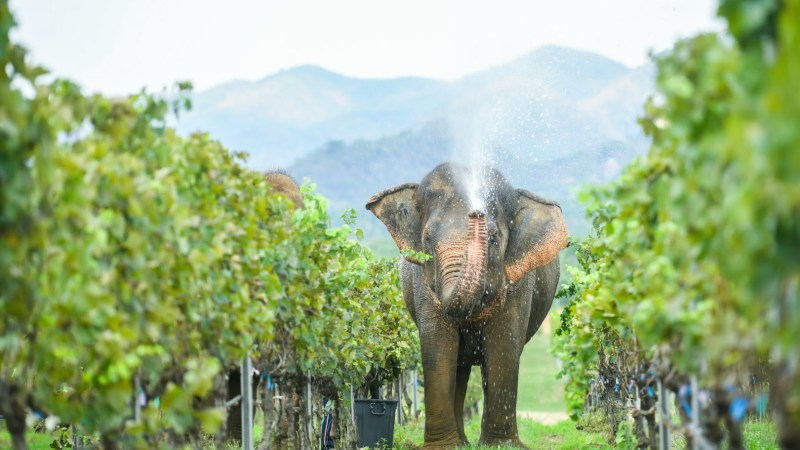 Monsoon Valley vineyards in Hua Hin, Thailand (pic: Siam Winery)