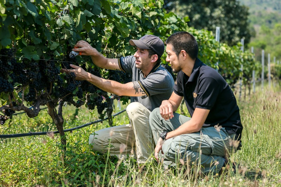 Jan Erik, Viticulture and Research Manager (left) and Suppached Sasomsin, Winemaker (right) were examining this year's harvest in vineyards (pic: Siam Winery)