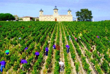 Cos-dEstournel-2011-Bordeaux-harvest