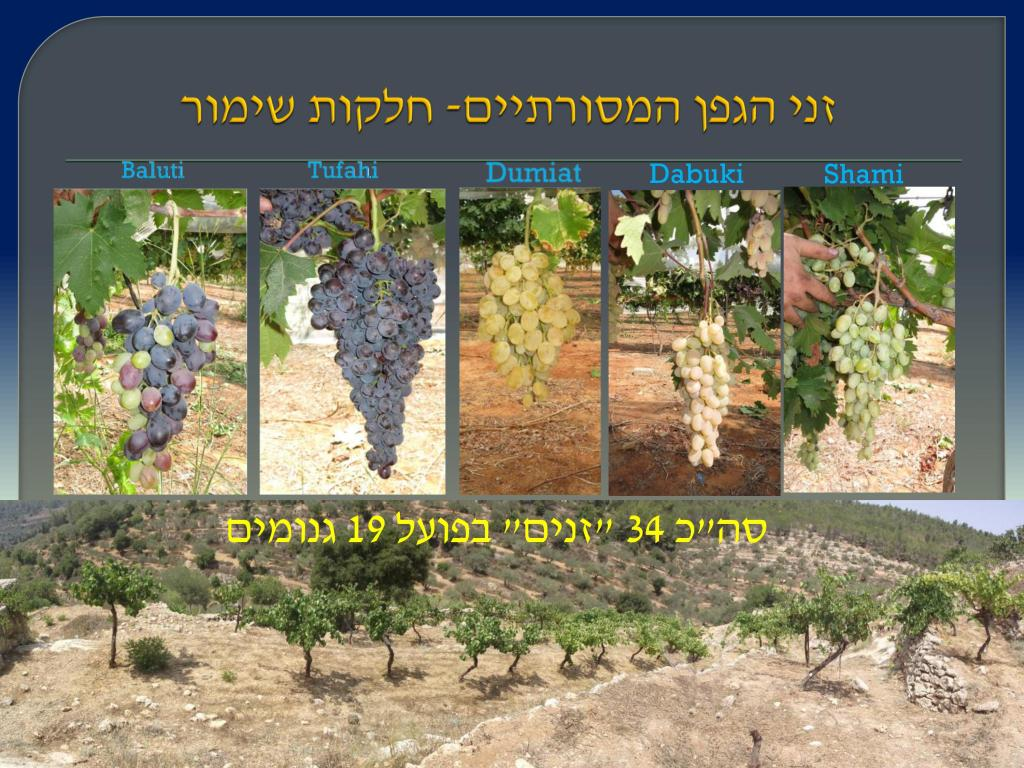 виноград Израиля, Дрори 8