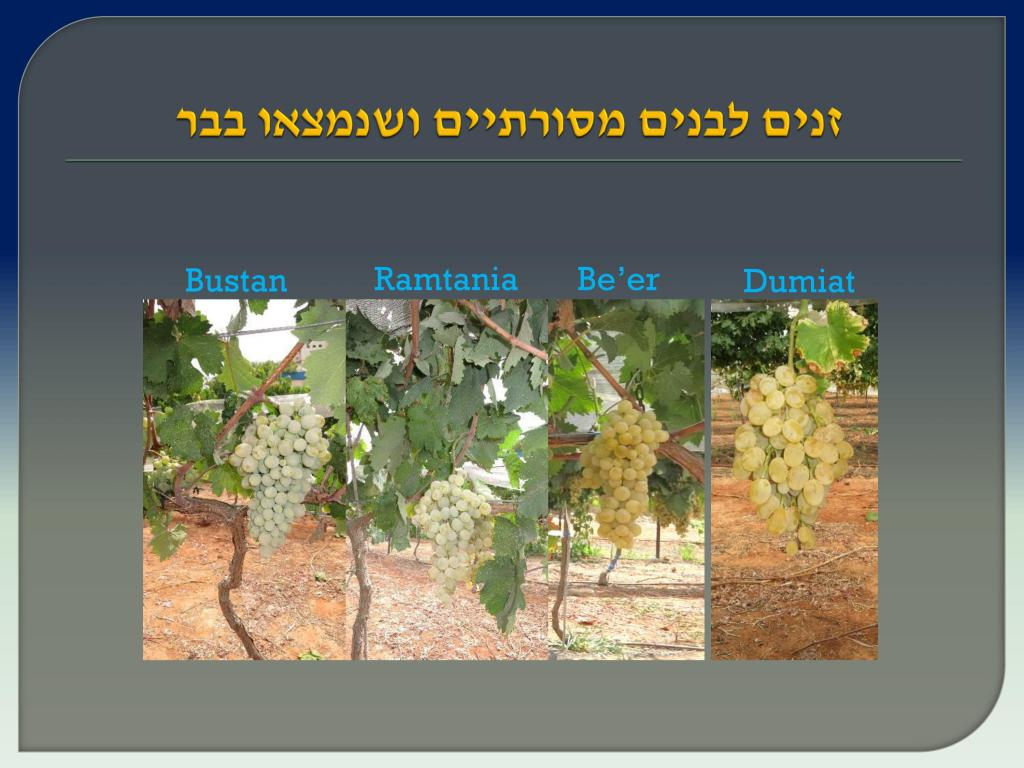 виноград Израиля, Дрори 12