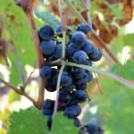 Гваот, виноград пти вердо
