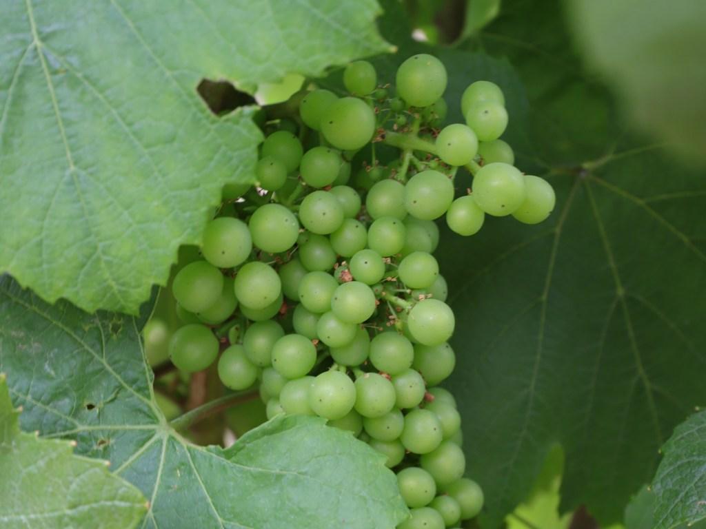 органические виноградники