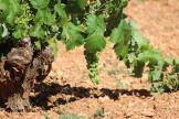 Racimo de uva engordando