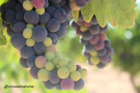 vinoslamancha_envero