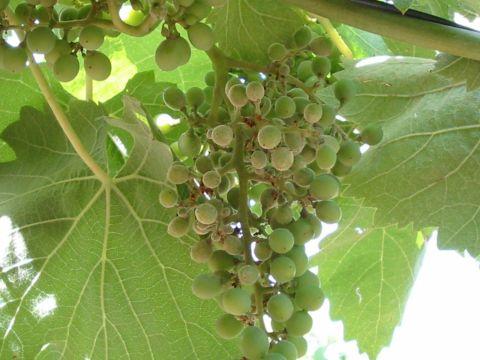 racimo uva con oidio
