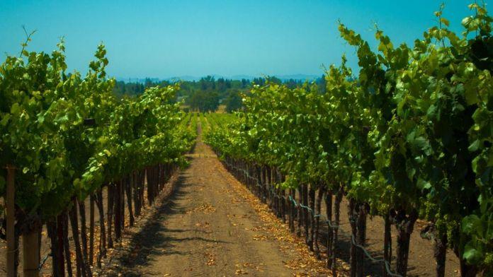 plantacion viñedo