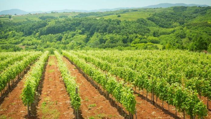 autorización plantar viñas