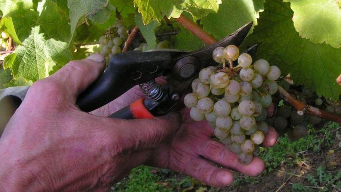 precio de la uva