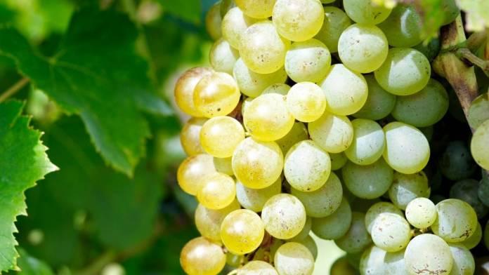 precio uva airén 2021