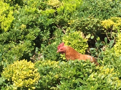 Rooster patrolling biodynamic vineyards at Emiliana.