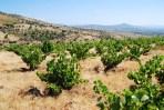 La Movida, mehr als sechzig Jahre alte Weinreben auf Schieferboden