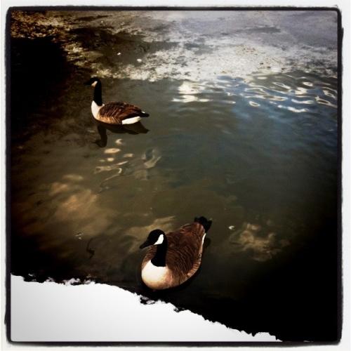 淡定的鸭子