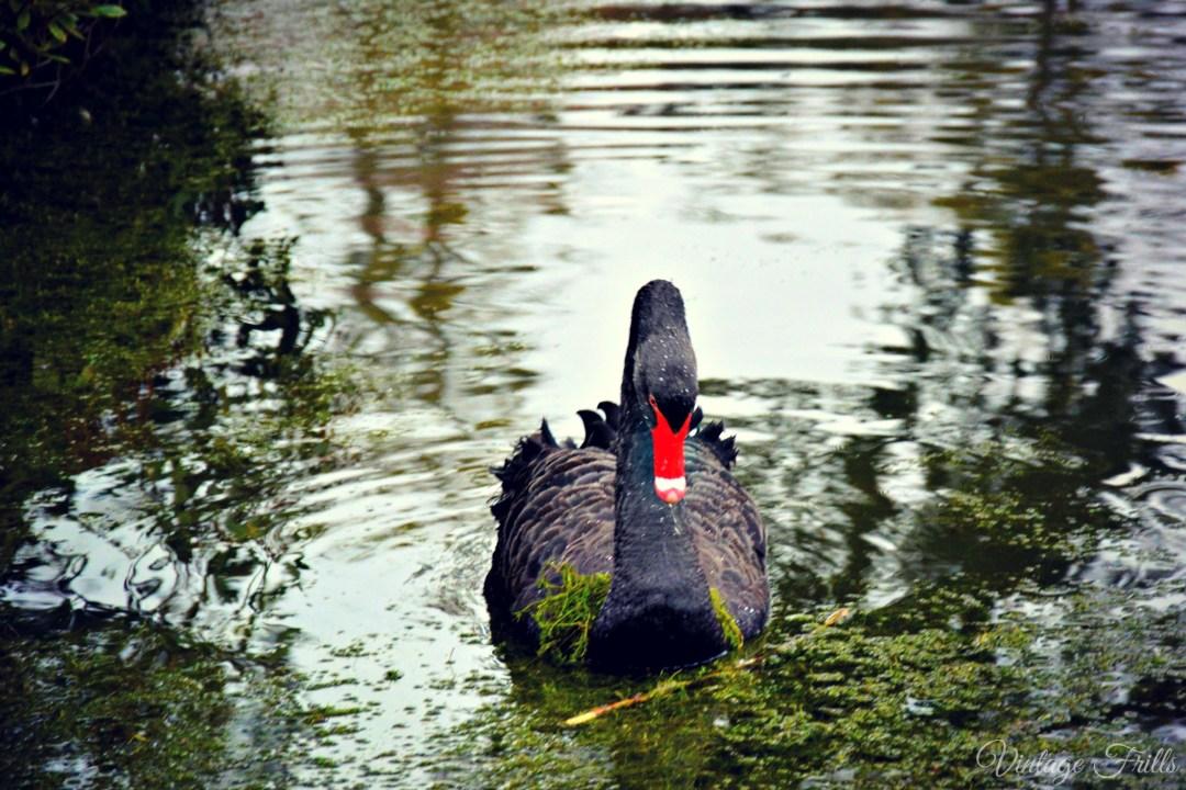 Claremont Black Swan