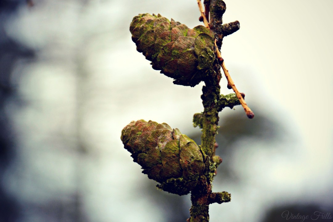 Painshill Pinecones