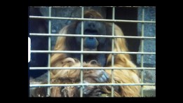 A still image of an Orangutan from a super 8 home movie taken in Jersey Zoo