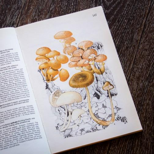 Опята. Иллюстрация из книги 1979 года. Артикул: mat045
