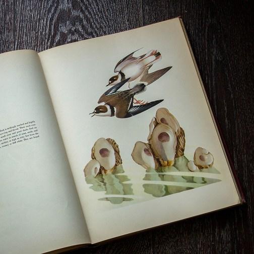 птицы. Иллюстрация из книги 1950 года. Артикул: msb003