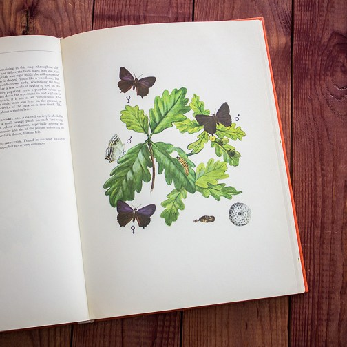 Бабочки. Иллюстрация из книги 1968 года. Артикул: tcbbic_pl044