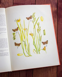Бабочки. Иллюстрация из книги 1968 года. Артикул: tcbbic_pl061