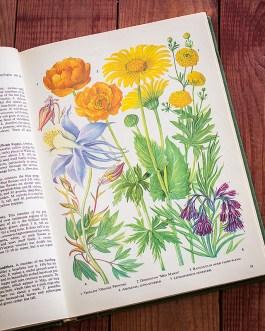 Садовые растения. Иллюстрация из книги 1960 года. Артикул: tibogf020