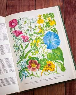 Садовые растения. Иллюстрация из книги 1960 года. Артикул: tibogf082