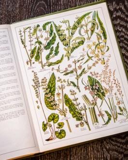 Растения Британии. Иллюстрация из книги 1982 года. Артикул: tncbf074