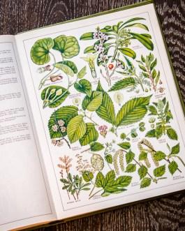 Растения Британии. Иллюстрация из книги 1982 года. Артикул: tncbf076