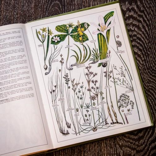Растения Британии. Иллюстрация из книги 1982 года. Артикул: tncbf086