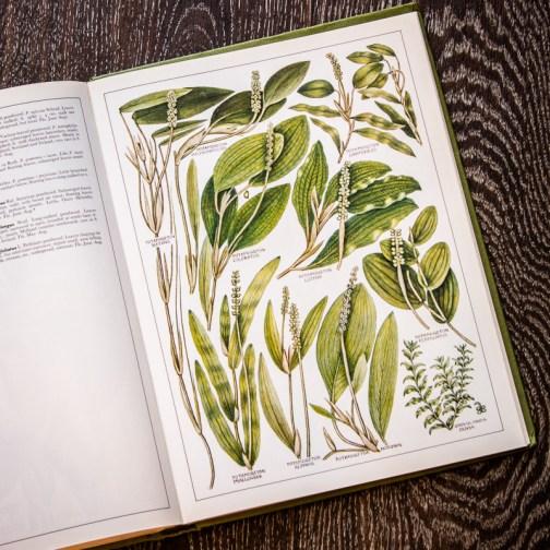 Растения Британии. Иллюстрация из книги 1982 года. Артикул: tncbf089