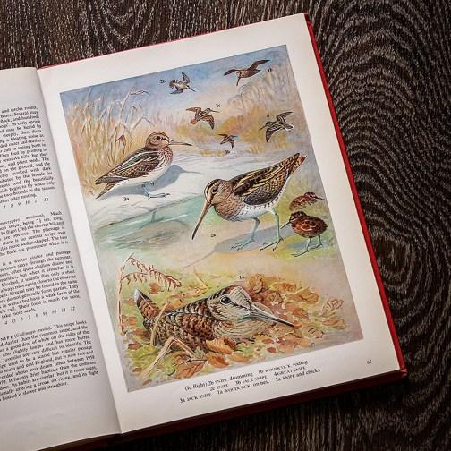 Птицы. Иллюстрация из книги 1973 года. Артикул: tobob034