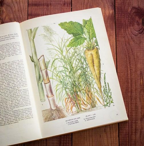 Тростник. Иллюстрация из книги 1971 года. Артикул: tobofp007