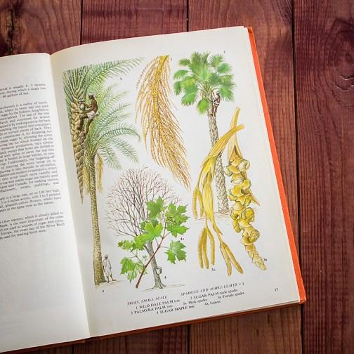 Пальмы. Иллюстрация из книги 1971 года. Артикул: tobofp008
