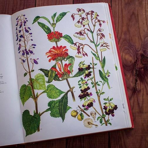 Дикие цветы. Иллюстрация из книги 1970 года. Артикул: wfw_pl063