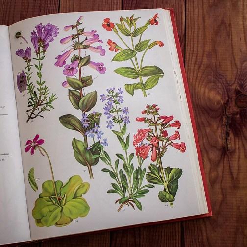 Дикие цветы. Иллюстрация из книги 1970 года. Артикул: wfw_pl164