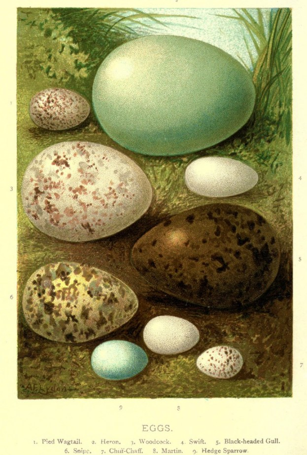 vgosn_vintage_bird_eggs_illustration_clipart_image
