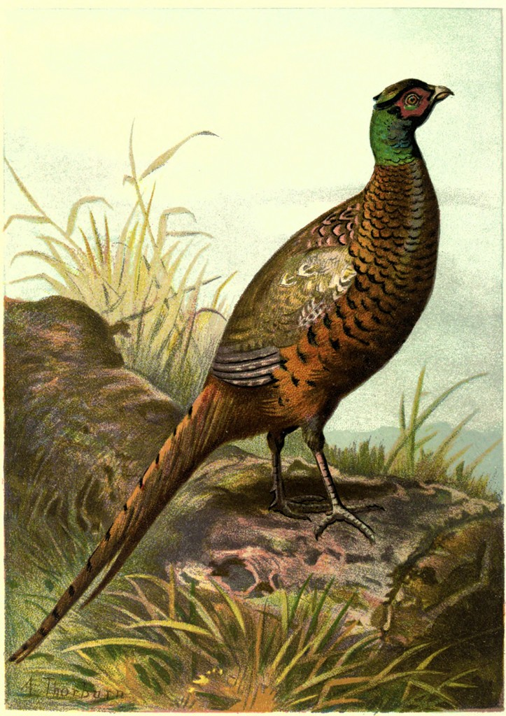 vgosn_vintage_pheasant_clipart_image