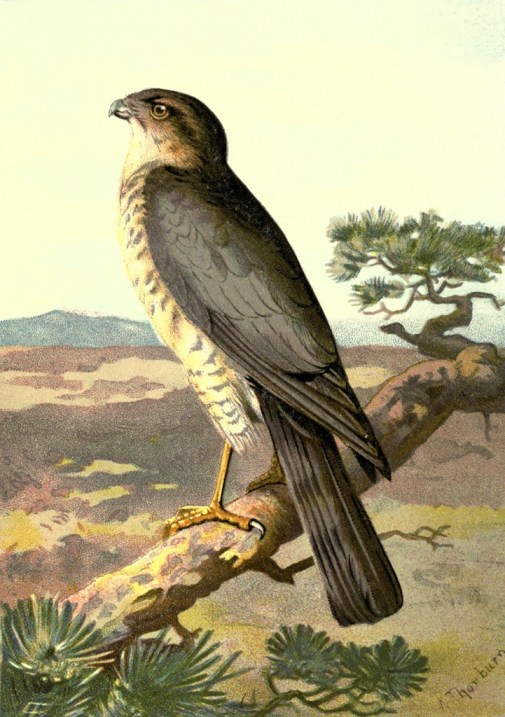 vgosn_vintage_sparrow_hawk_clipart_image