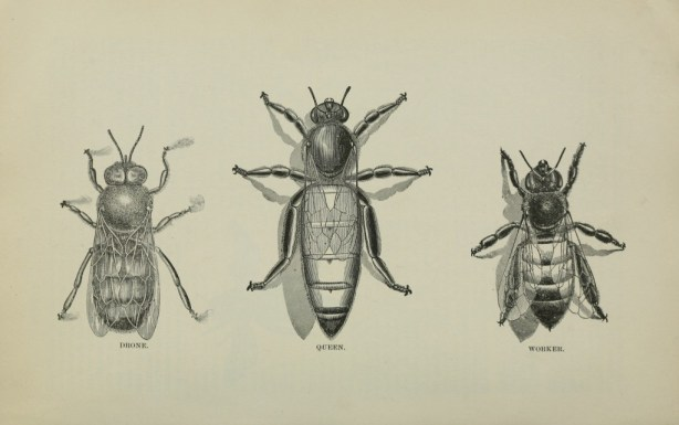 vgosn_vintage_bee_illustration_clipart_image_free (1)