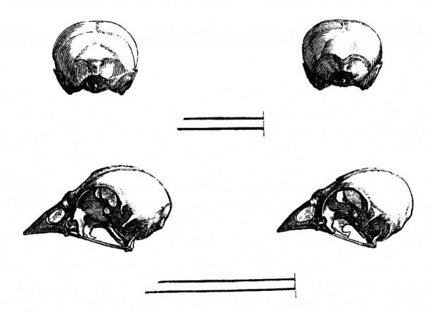 vgosn_vintage_bird_skulls (1)