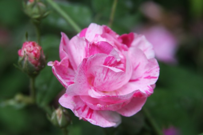 "Rosa mundi, one of the ""Mad Gallicas"""