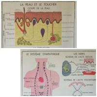 Affiche scolaire Rossignol La peau - Le système sympathique