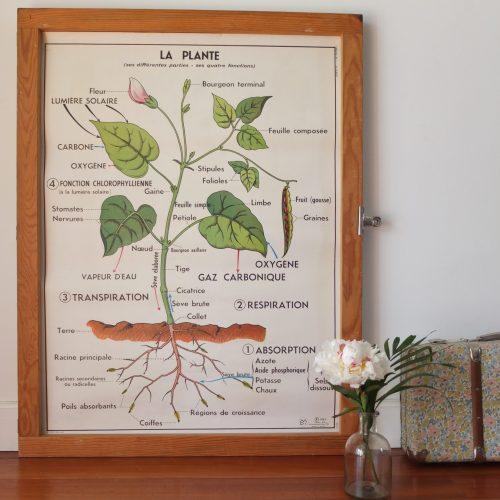La plante & la germination – affiche scolaire -1967, MDI