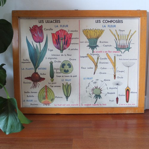 Affiche scolaire MDI – les liliacés, les composés & les cupulifères.1960