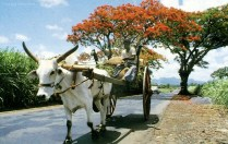 Ox Cart - Charette Boeuf - Carrying Grass - Mauritius - 1980s